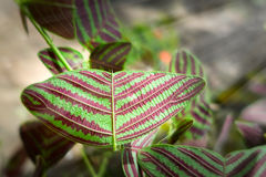 Motyli drzewo, motyli liście Obraz Stock