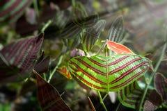 Motyli drzewo, motyli liście Obrazy Stock