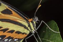 Motyli ekstremum zakończenia up zakończenie up Fotografia Royalty Free