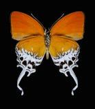 Motyli Eooxylides tharis Obrazy Royalty Free