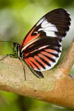 motyli erato heliconius listonosz mały Obraz Royalty Free