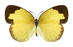 Motyli Eurema hecabe (kobieta) Obraz Royalty Free
