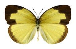 Motyli Eurema hecabe (kobieta) Zdjęcie Stock