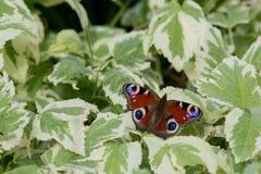 Motyli Europejski paw (Aglais io) Zdjęcie Royalty Free