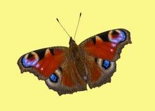 Motyli Europejski paw (Aglais io) Zdjęcie Stock