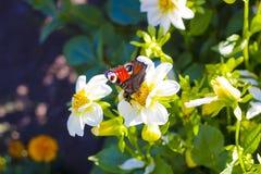 Motyli Europejski Pawi obsiadanie na białym kwiacie Zdjęcie Royalty Free