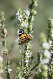 motyli flover Zdjęcie Stock