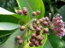 motyli gąsienicowy monarcha Zdjęcie Stock