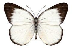 Motyli gatunków Delias belisama Obraz Royalty Free