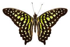 Motyli gatunków Graphium agamemnon Zdjęcie Stock