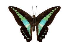 Motyli gatunków Graphium sarpedon Zdjęcia Royalty Free