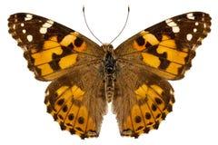 Motyli gatunków Vanessa cardui Fotografia Stock