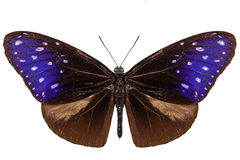 Motyli gatunki Euploea Mulciber Obraz Royalty Free