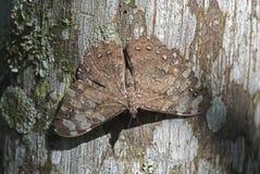 Motyli genus Hamadryas camouflaged w palmowym bagażniku Zdjęcia Royalty Free
