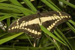 motyli gigantyczny swallowtail Zdjęcia Stock