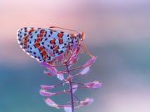 Motyli Golubianka brązu Aricia agestis na suchym badylu Zdjęcie Stock