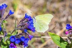 Motyli Gonepteryx rośliny Pulmonaria dacica Simonk Fotografia Stock