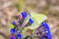 Motyli Gonepteryx rośliny Pulmonaria dacica Simonk Zdjęcie Royalty Free