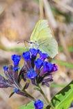 Motyli Gonepteryx rośliny Pulmonaria dacica Simonk Obrazy Royalty Free