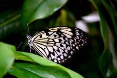motyli greenery tapetuje ryż Zdjęcia Royalty Free
