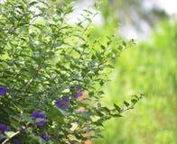Motyli groch Zdjęcie Royalty Free