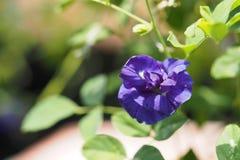 Motyli groch, Błękitny groch, Clitoria ternatea kwitnąć Obrazy Stock