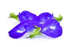 Motyli groch, błękitny groch, clitoria ternatea lub aparajita kwiat, Obraz Stock