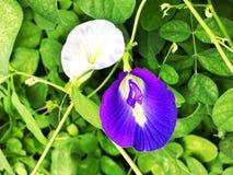 Motyli groch lub Błękitny groch Fotografia Stock
