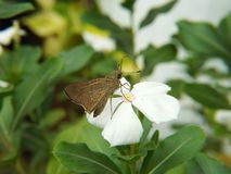 Motyli groch siedzi na białym kwiacie zdjęcie stock