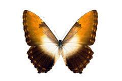 motyli hecuba morpho obidonus Zdjęcie Royalty Free