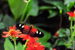 motyli heliconius Zdjęcia Royalty Free