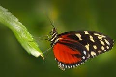 Motyli Heliconius Hacale zuleikas w natury siedlisku, Ładny insekt od Costa Rica w zielonym lasowym Motylim obsiadaniu na Zdjęcia Royalty Free