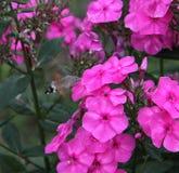 Motyli hummingbird jastrzębia ćma Zdjęcie Stock