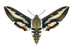 Motyli Hyles gallii Zdjęcia Stock