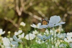 Motyli i biały kwiat w ogrodowym Pospolitym tygrysim motylu Fotografia Royalty Free
