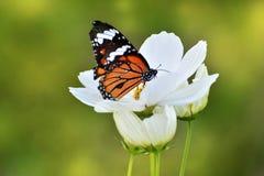 Motyli i biały kwiat w; Pospolity tygrysi motyl Obraz Stock