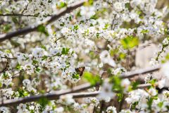 Motyli i biali kwiaty Obraz Royalty Free