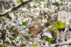 Motyli i biali kwiaty Obrazy Royalty Free