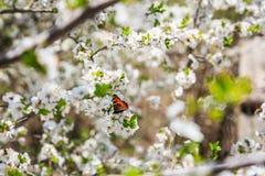 Motyli i biali kwiaty Obraz Stock