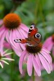 motyli inachis Obraz Stock