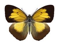 Motyli Ixias flavipennis Obraz Royalty Free