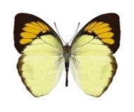Motyli Ixias undatus Obraz Stock