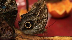 Motyli Jeść zdjęcie wideo