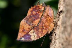 Motyli Kallima Inachus fotografia stock