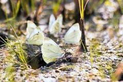 Motyli kapuściany motyl zdjęcia royalty free