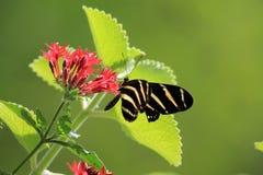 Motyli karmienie Zdjęcie Stock