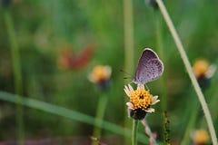 Motyli karmienie; kwiat Fotografia Stock