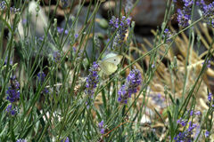 Motyli karmienie na błękitnych kwiatach Obraz Royalty Free
