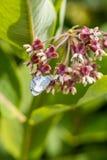 Motyli karmienie na trojeści Obrazy Royalty Free
