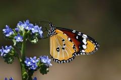 motyli kirstenbosch Zdjęcie Royalty Free